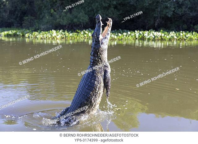 Yacare caiman (Caiman yacare), adult jumping out of water, Rio Claro, Pantanal, Mato Grosso, Brazil