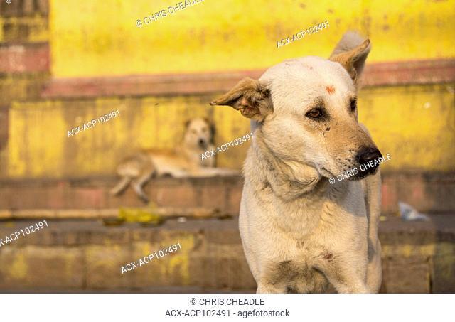 Dog with Bindi, Varanasi, formerly Benares, Uttar Pradesh, India