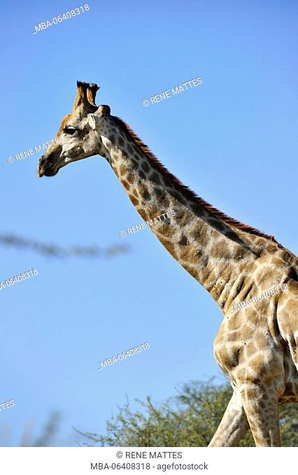 Namibia, Kalahari desert, Intu Africa Kalahari game reserve, giraffe (Camelopardus)