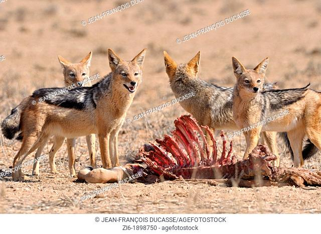 Black-backed Jackals, Canis mesomelas, Kgalagadi Transfrontier Park, Northern Cape, South Africa