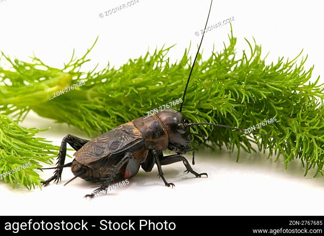 forefront of a cricket on white background