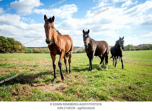 Standardbred horses in pasture