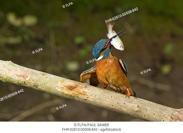 Common Kingfisher Alcedo atthis adult male, feeding, hitting Rudd Scardinius erythropthalamus prey against branch, Suffolk, England, may