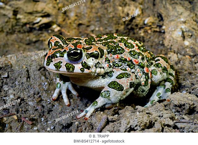 Eastern Green toad, Eastern Variegated toad (Bufo viridis variabilis, Bufo variabilis, Bufotes viridis, Bufotes variabilis ), on shore, Romania, Dobrudscha