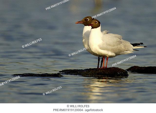 Black-headed gulls standing together, Larus ridibundus