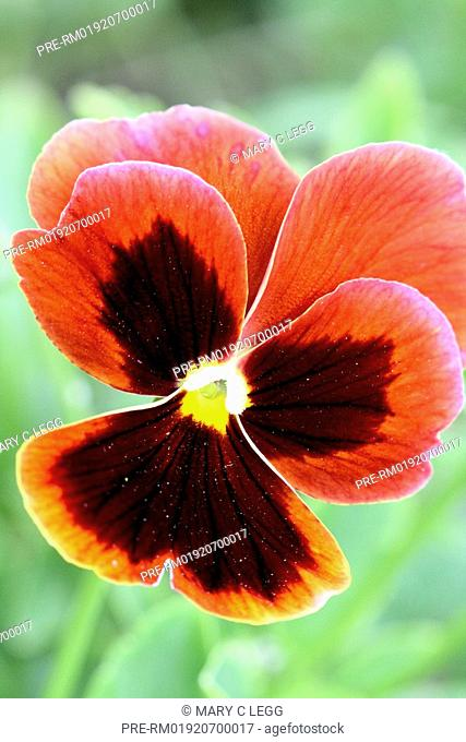 Cinnamon colored pansy