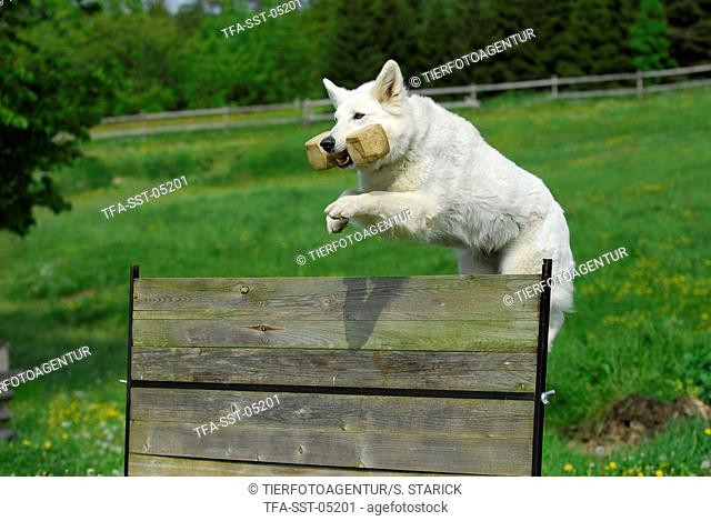jumping white swiss shepherd
