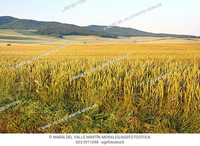 Wheat fields in La Rioja. Spain