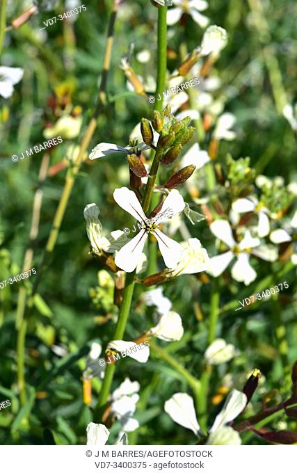Wild radish (Raphanus raphanistrum) is an annual or biennial herb native to Europe, northern Africa, North America and western Asia