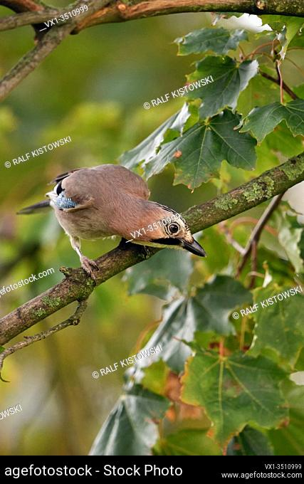 Eurasian Jay ( Garrulus glandarius ), perched in a tree, watching down to the ground, curious, looks funny, wildlife, Europe.