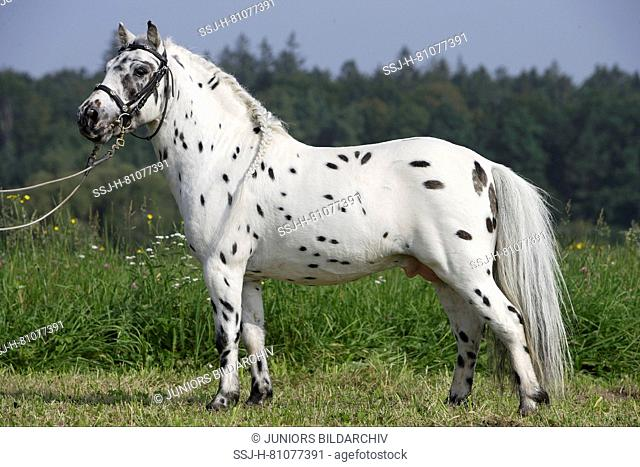 Shetland Pony. Miniature Appaloosa standing on a meadow. Germany