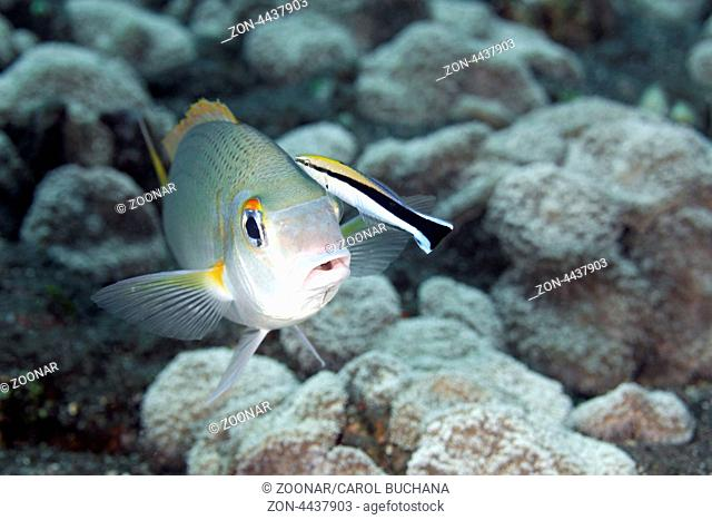 A Monogram Monocle Bream, also known as Rainbow Monocle Bream, Scolopsis monogramma, with Bluestreak Cleaner Fish, Labroides dimidiatus