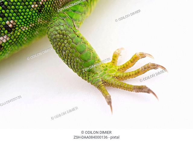 Close-up of green lizard's claws