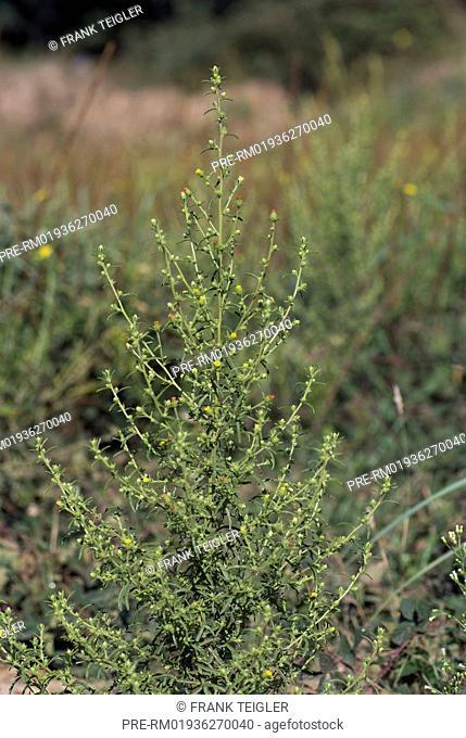 Stinkwort, Dittrichia graveolens / Klebriger Alant, Dittrichia graveolens