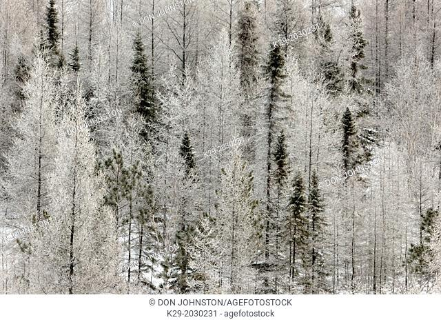 Birch, larches and spruce trees with fresh frost, Greater Sudbury (Lively), Ontario, Canada
