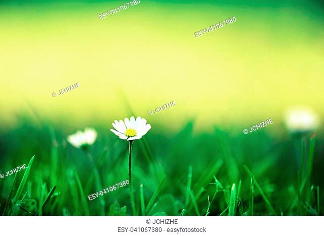 Field of daisy flowers. Fresh green spring grass with sun leaks effect, copy space. Soft Focus. Summer concept. Abstract nature background. Banner