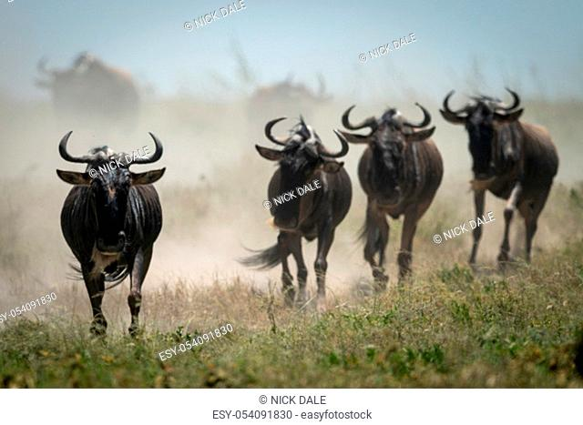 Four blue wildebeest gallop with others behind