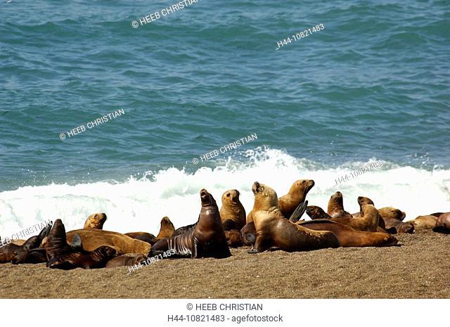 South American Sea Lion, Otaria flavescens, Reserva Natural Turistica, reserve, Punta Norte, Peninsula Valdes, Puerto