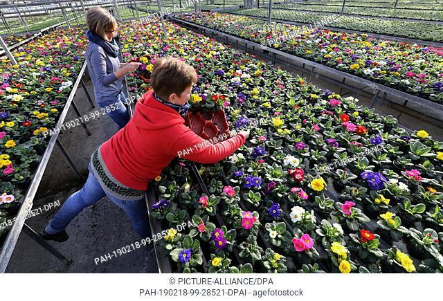 15 February 2019, Mecklenburg-Western Pomerania, Barth: In the greenhouses at Nordflor Gartenbau, Heike Erdmann (l-r) and Heike Ludwig, plant manager