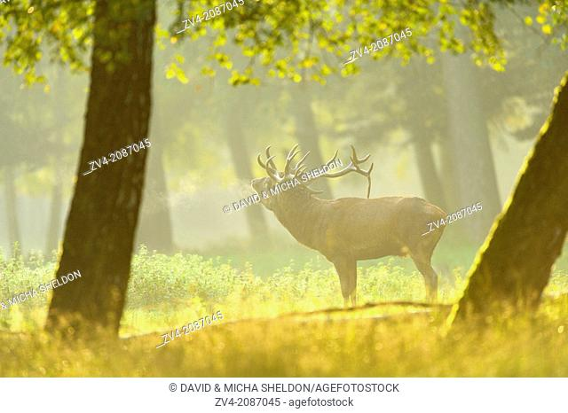 A Red deer (Cervus elaphus) male on a early foggy morning at the edge of the woods