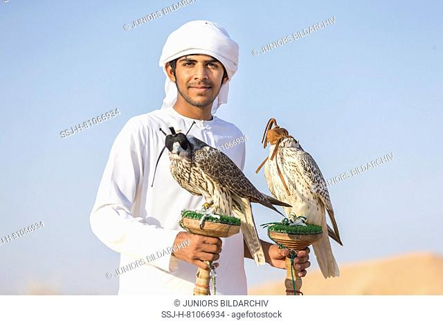 Saker Falcon (Falco cherrug). Falconer carrying a trained birds on their blocks. Abu Dhabi