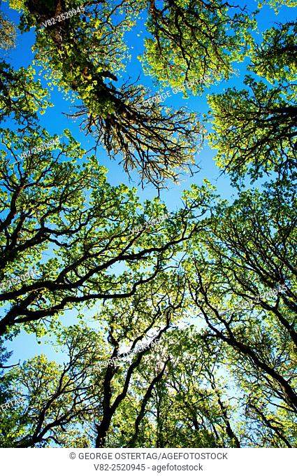 Forest canopy along Beaver & Cattail Pond Trail, William Finley National Wildlife Refuge, Oregon