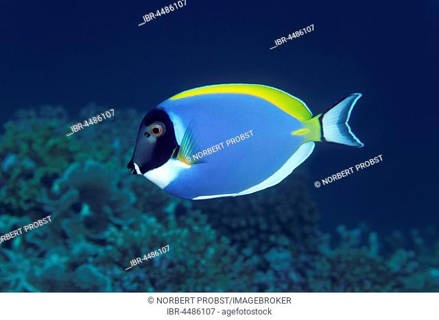 Powder blue tang (Acanthurus leucosternon), Indian Ocean, Maldives