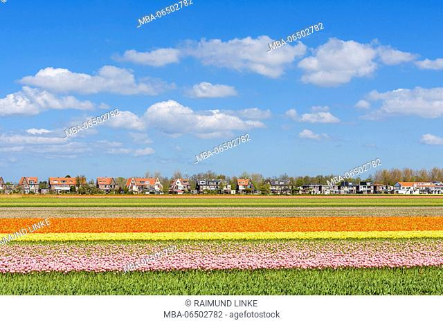 View over colorful tulips fields in spring, Hillegom, South Holland, Netherlands