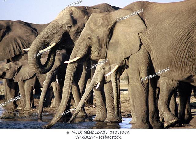African Elephants (Loxodonta africana), Chobe National Park. Botswana