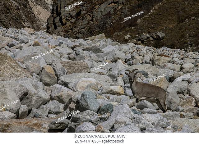 Bharal - Himalayan blue sheep
