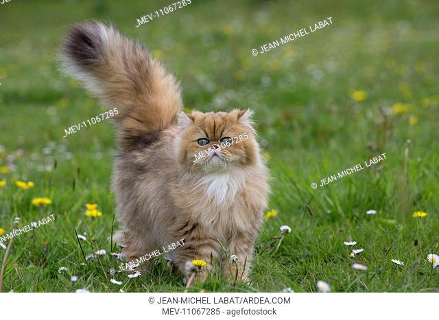 Cat Golden Shaded Persian in daisies and dandelions