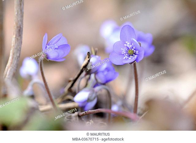 Liverworts, anemone hepatica, blossom