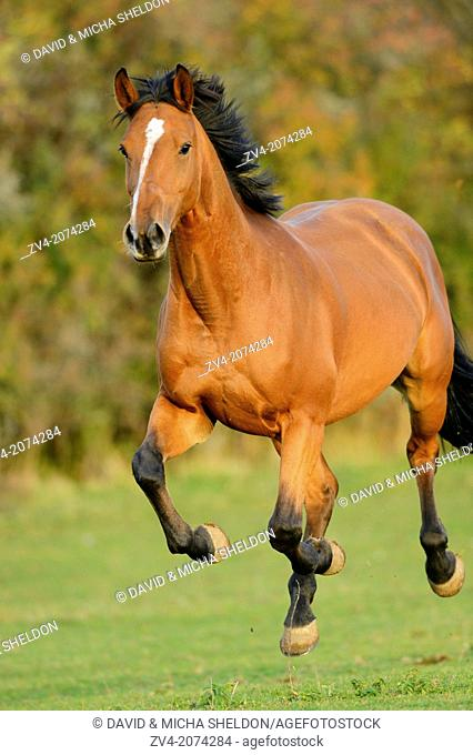 Close-up of a Bavarian Warmblood horse on a meadow in autumn, Bavaria, Germany