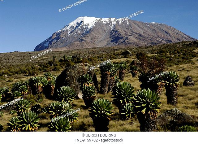 Snow-covered cone of Kilimanjaro and Giant groundsel, Tanzania