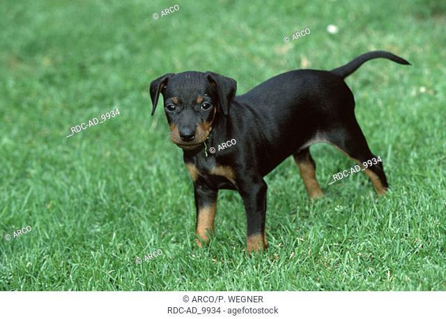 Manchester Terrier puppy 6 weeks