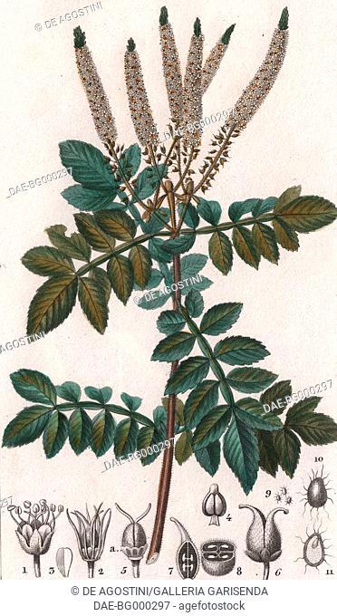 Weinmannia pubescens, colour copper engraving, retouched in watercolour, 9x15 cm, from Dizionario delle scienze naturali compilato da vari professori del...