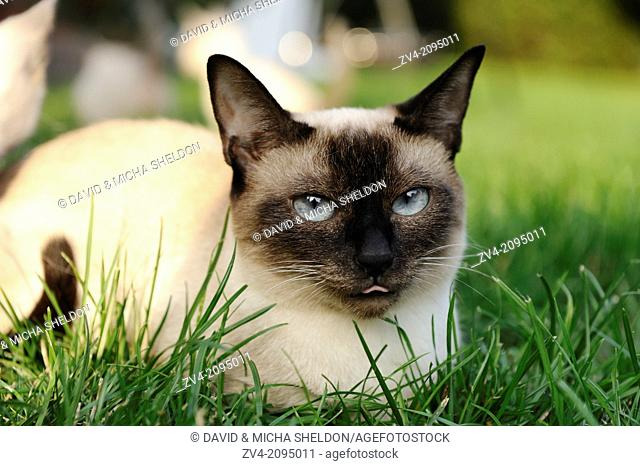 Close-up of a seal point Birman cat lying in a meadow