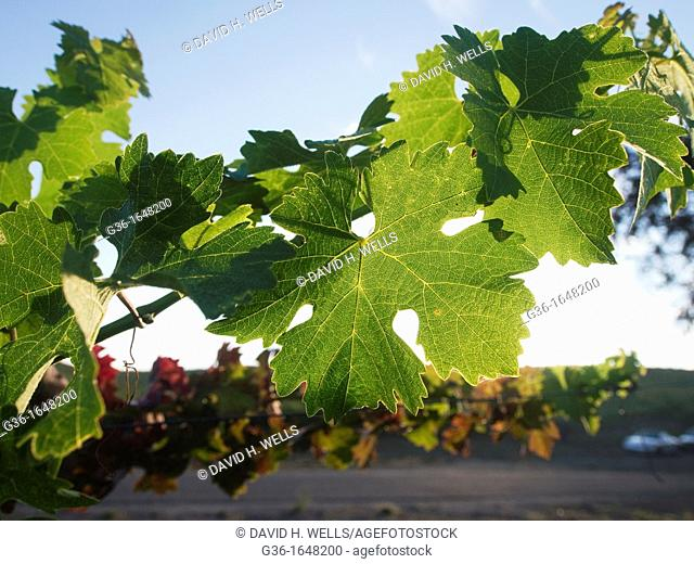 Sunlit plants in a vineyard in Paso Robles  California, United states