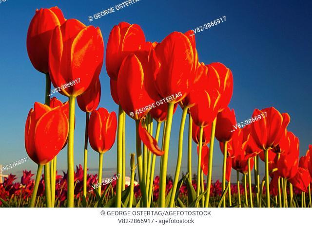 Tulip field, Wooden Shoe Bulb Co. , Clackamas County, Oregon