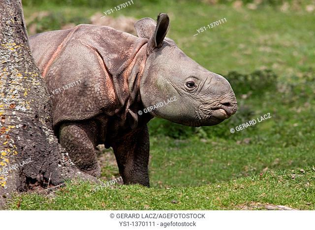 INDIAN RHINOCEROS rhinoceros unicornis, CALF