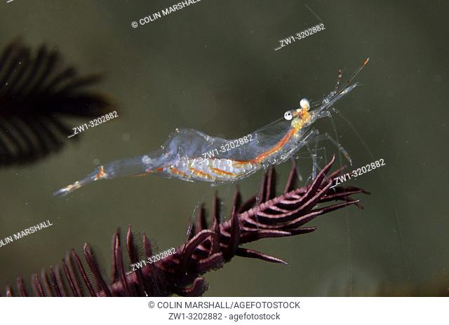 Translucent Gorgonian (Commensal) Shrimp (Manipontonia psamathe) on Crinoid (Crinoidea Class), Tasi Tolu dive site, Dili, East Timor (Timor Leste)
