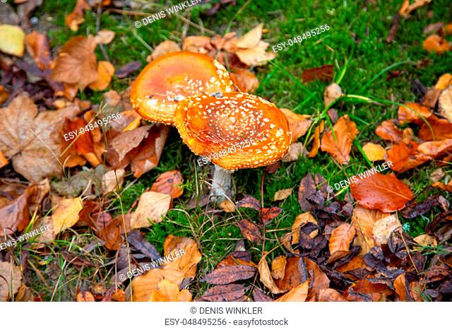 two toadstools with leaves in the forest in autumn