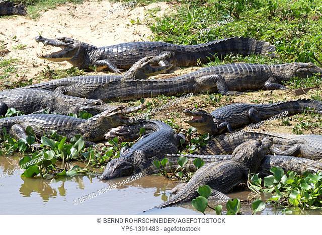 group of Yacare Caimans Caiman yacare lying on shore, Pantanal, Brazil
