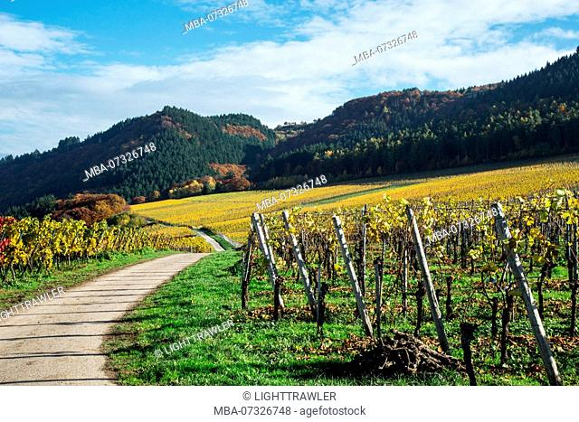 A path through vineyards at the Moselle flanked by the colorful autumn leaves of the grapevines