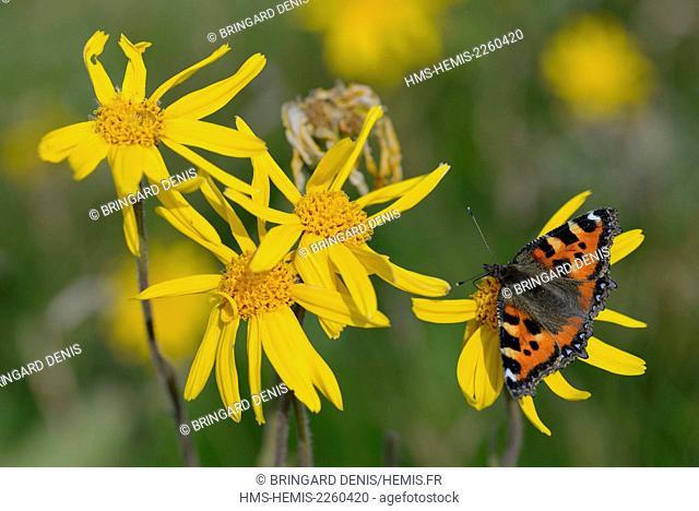France, Haut Rhin, Hautes Vosges, meadow, flower, Arnica montana, butterfly, Aglais urticae