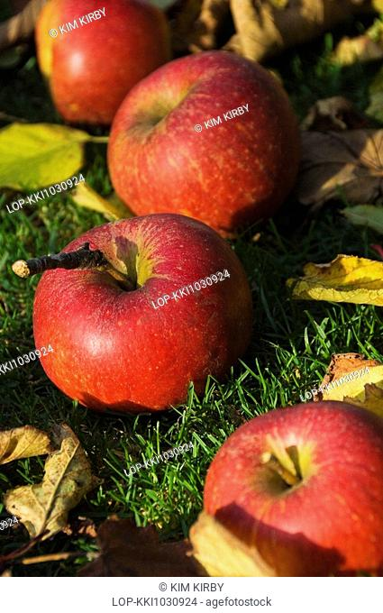 England, North Yorkshire, -, Windfall Charles Ross apples lying on the grass