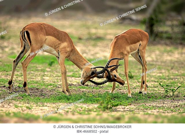 Impalas (Aepyceros melampus), two males fighting, Sabi Sand Game Reserve, Kruger National Park, South Africa