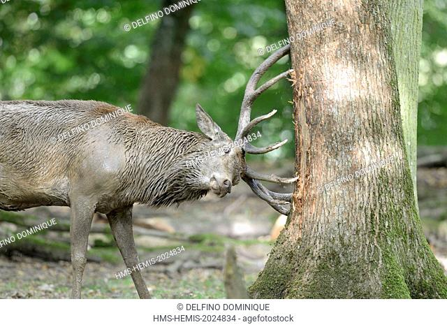 France, Moselle, Animal Park Saint Croix, Rhodes, red deer (Cervus elaphus), male at the time of slab wood rubbing against the trunk of a tree