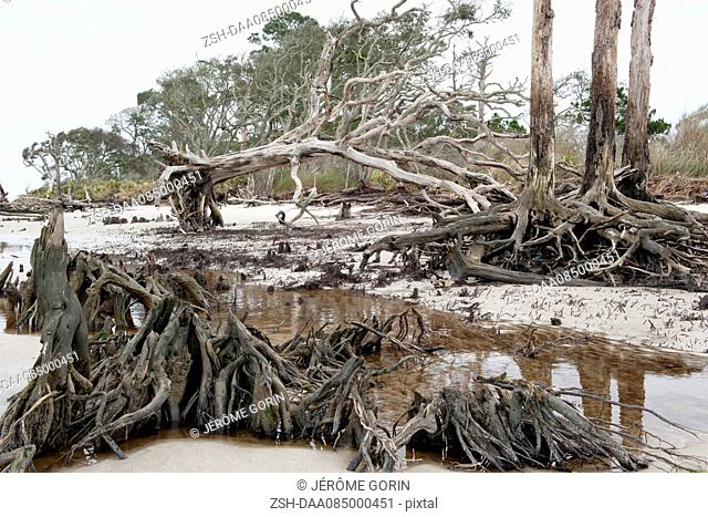 Dead trees on beach, Jekyll Island, Georgia, USA
