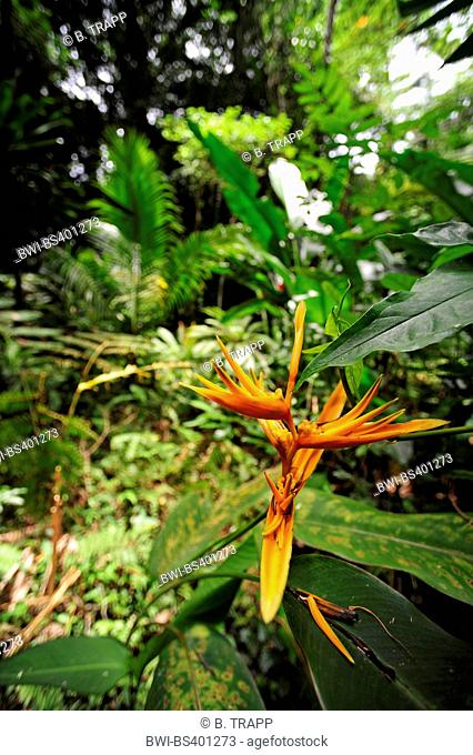 heliconia (Heliconia spec.), blooming heliconia in rainforest, New Caledonia, Ile des Pins